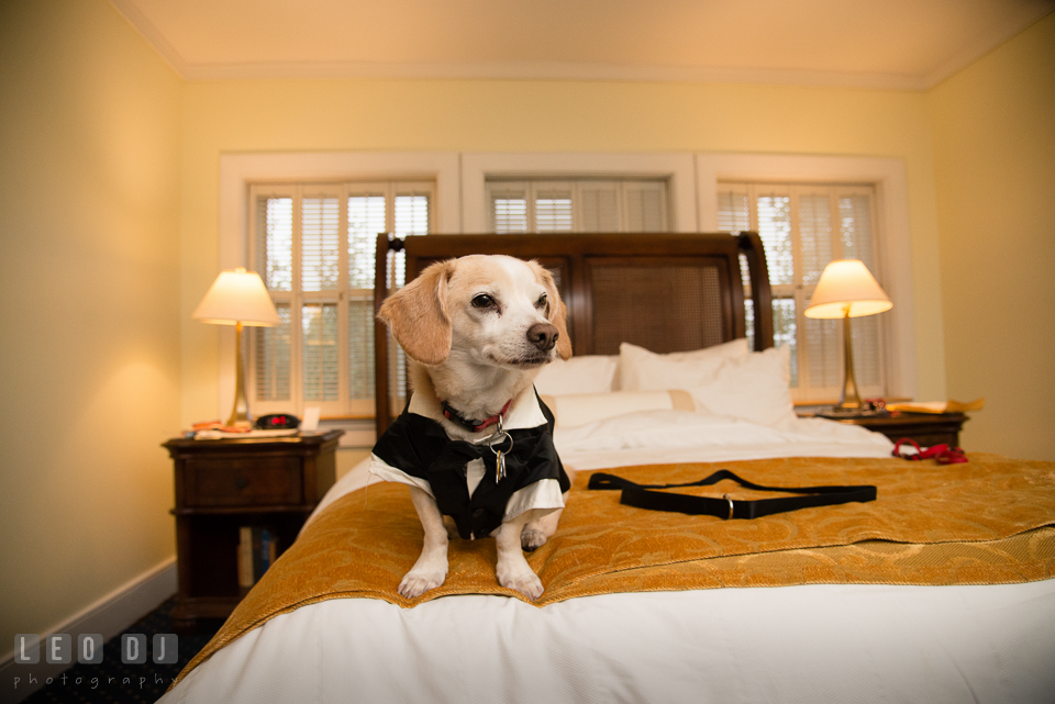 Eastern Shore Maryland wedding pet dog on the bed photo by Leo Dj Photography