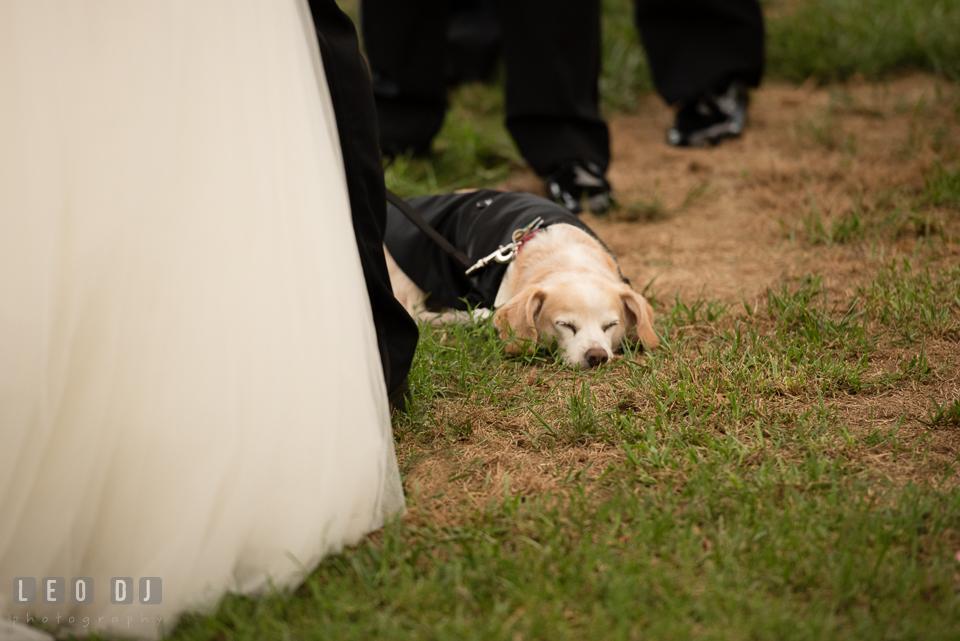 Eastern Shore Maryland Wedding dog sleeping during ceremony photo by Leo Dj Photography