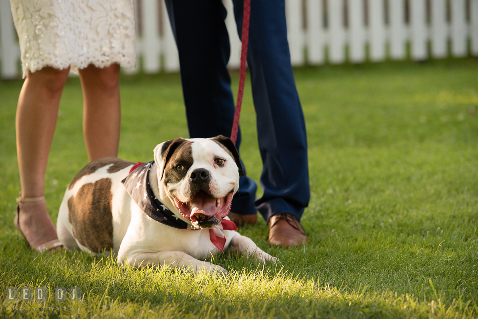 American bull dog laying on the grass by the Bride and Groom. The Oaks Waterfront Inn wedding, St Michaels, Eastern Shore, Maryland, by wedding photographers of Leo Dj Photography. http://leodjphoto.com