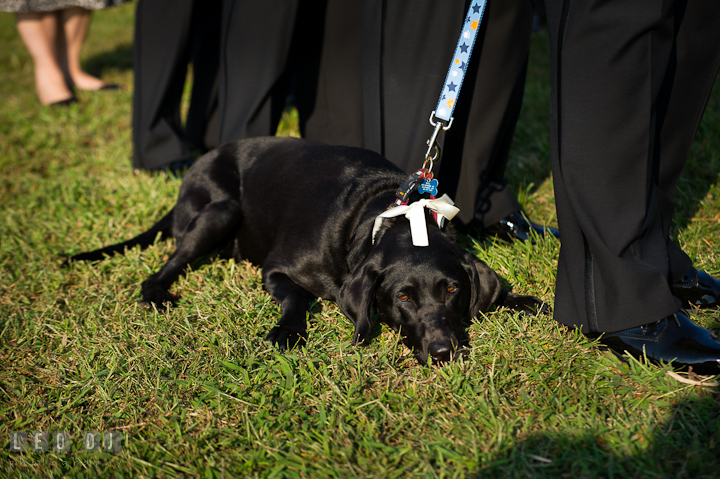 Bride and Groom's pet dog tired and laid down. Getting ready and ceremony wedding photos at private estate at Preston, Easton, Eastern Shore, Maryland by photographers of Leo Dj Photography. http://leodjphoto.com