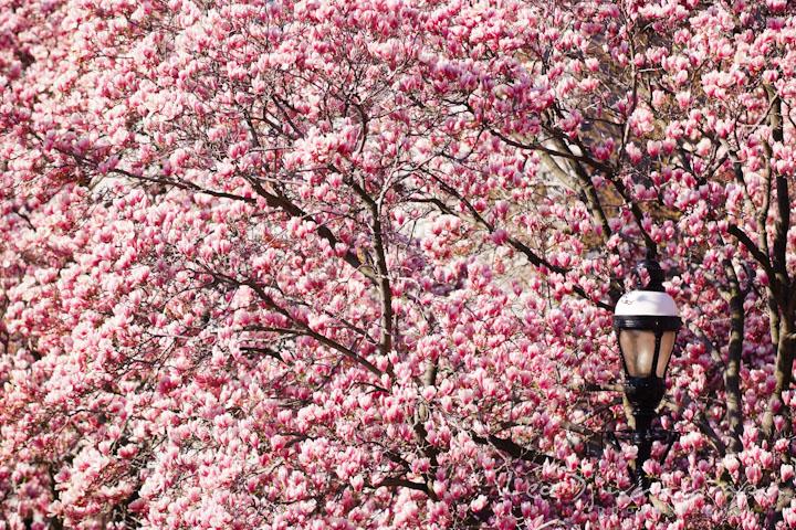Beautiful flowering, blooming magnolia trees. Pre wedding engagement photo Washington DC Smithsonians museum and Ronald Reagan Washington National Airport DCA, by wedding photographer Leo Dj Photography