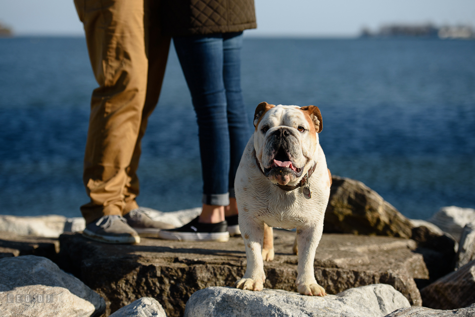 Jonas Green Park Annapolis Maryland bulldog posing on the rocks while the engaged behind him photo by Leo Dj Photography.