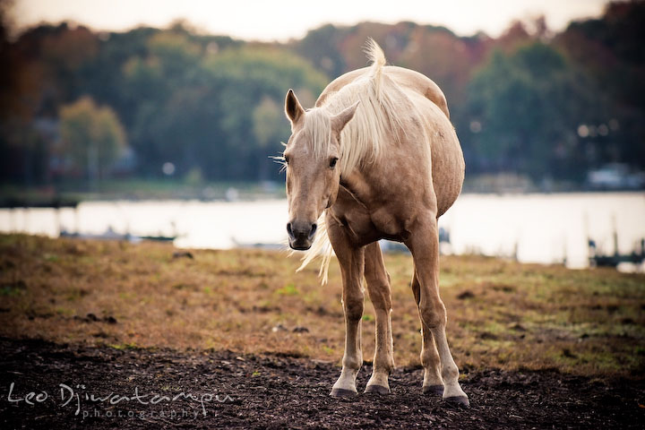 Stallion curiously looking at camera. Annapolis Kent Island Maryland High School Senior Portrait Photography with Horse Pet by photographer Leo Dj